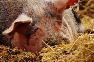 Schweinepfleger/innen gesucht
