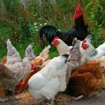 Jobs Geflügelzucht gesucht Huhnpfleger