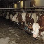 Kuhpfleger / Tierpfleger gesucht